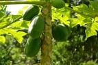 Malvar Organic Farm 04