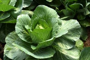 Malvar Organic Farm 09